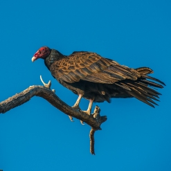 turkey-vulture-1-of-1-14-blog