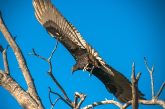 turkey-vulture-1-of-1-15-blog