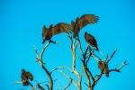 turkey-vulture-1-of-1-18-blog