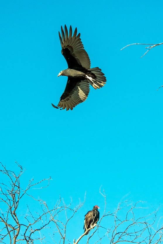 turkey-vulture-1-of-1-2-blog