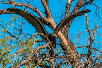 turkey-vulture-1-of-1-20-blog
