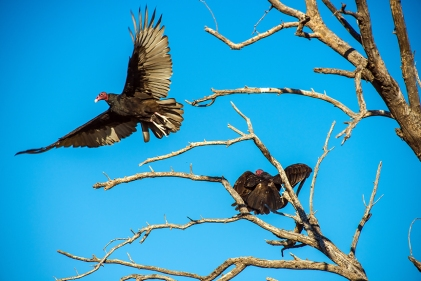turkey-vulture-1-of-1-21-blog