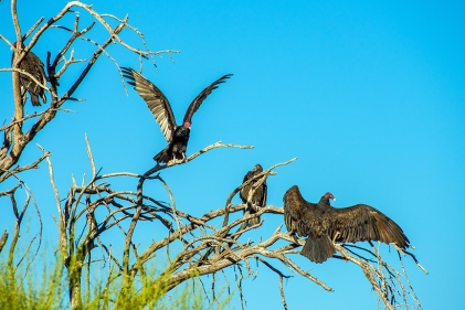 turkey-vulture-1-of-1-22-blog