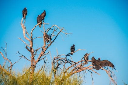 turkey-vulture-1-of-1-23-blog