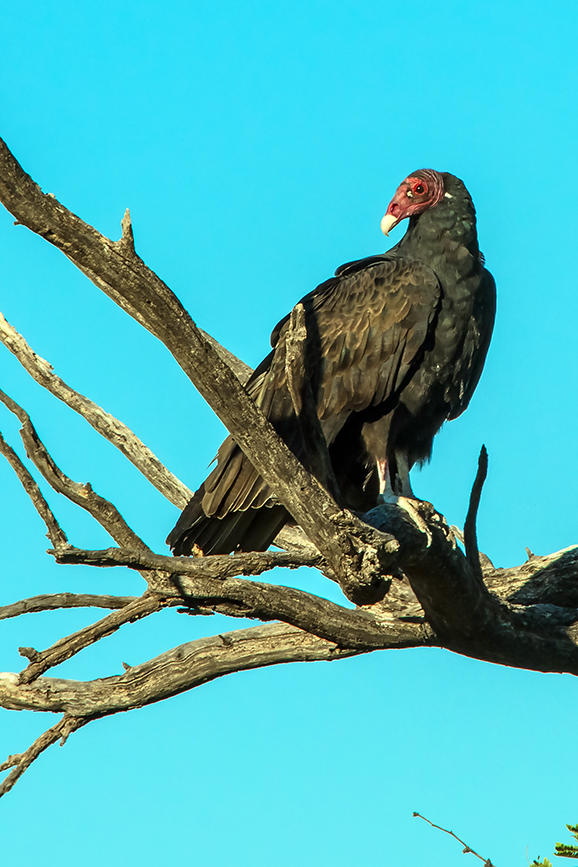 turkey-vulture-1-of-1-26-blog
