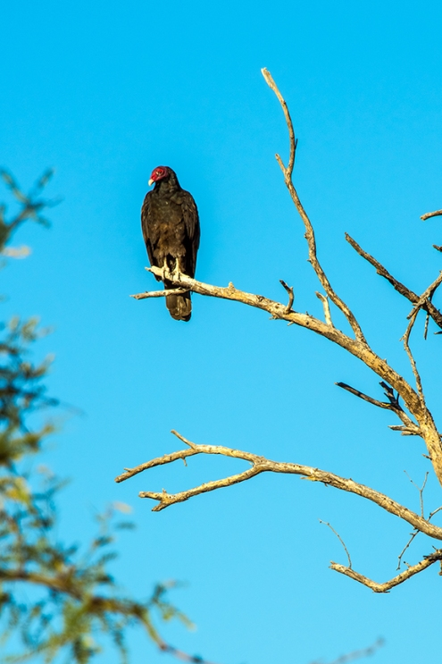 turkey-vulture-1-of-1-27-blog