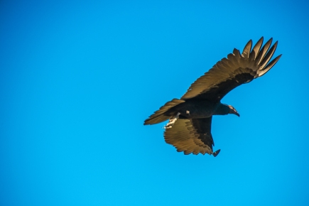 turkey-vulture-1-of-1-3-blog