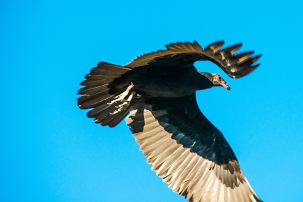 turkey-vulture-1-of-1-4-blog