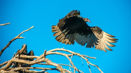 turkey-vulture-1-of-1-5-blog
