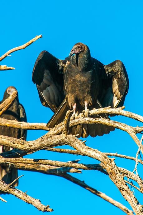 turkey-vulture-1-of-1-6-blog