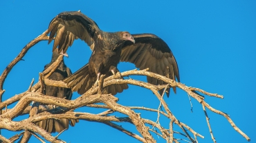 turkey-vulture-1-of-1-7-blog