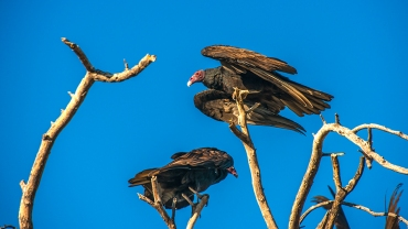 turkey-vulture-1-of-1-8-blog