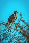 turkey-vulture-1-of-1-blog