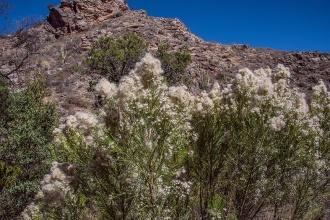 Desert Brum