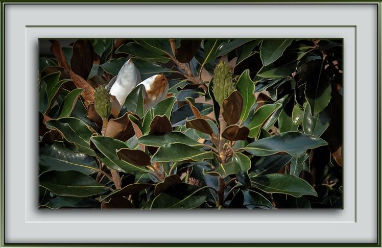 magnolia-framed-blog