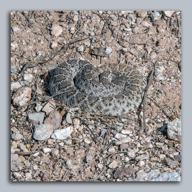 rattlesnake-1-of-1-2-blog
