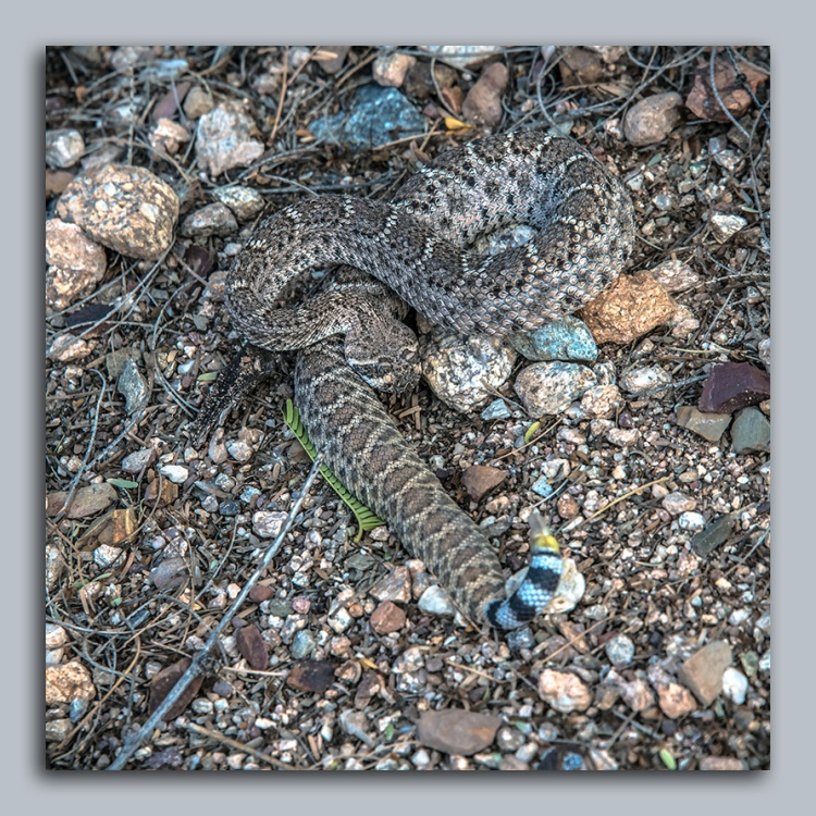 rattlesnake-1-of-1-blog