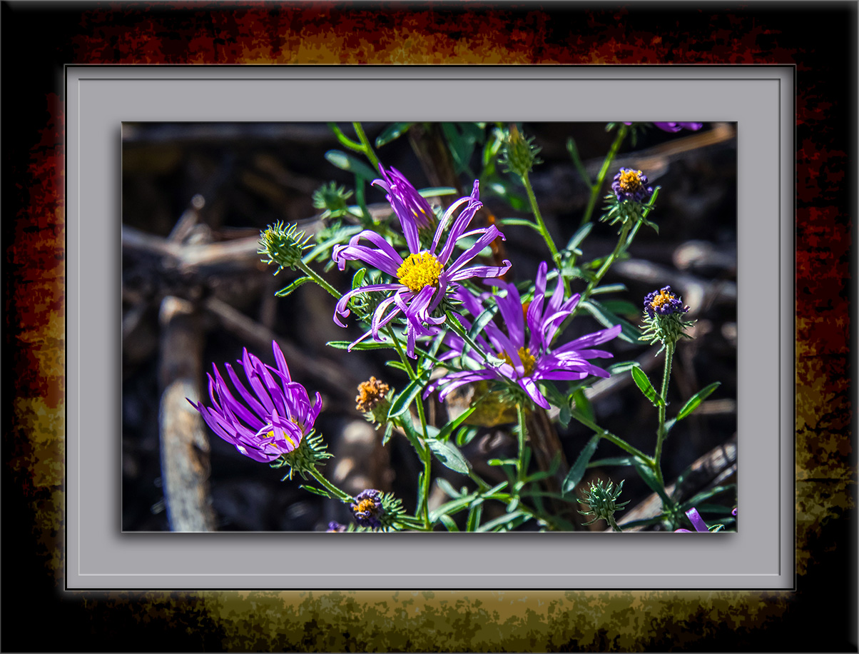 aster-wildflower-0151-blog