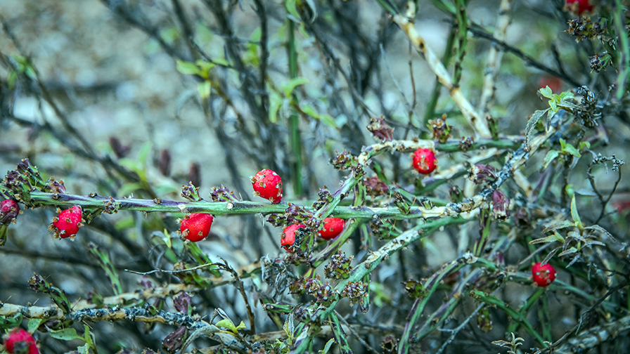 christmas-cholla-0282-blog