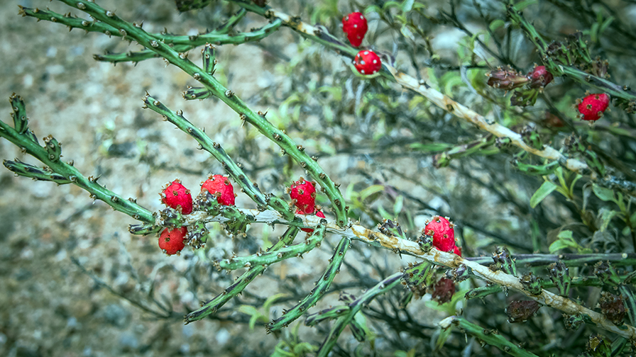 christmas-cholla-0283-blog