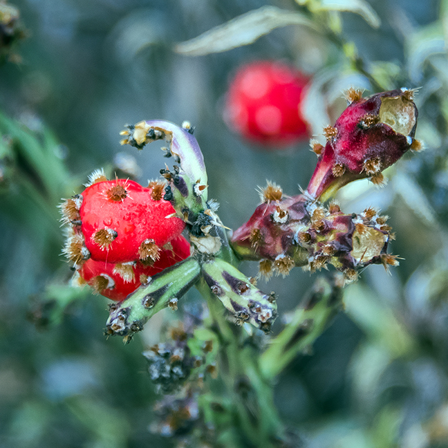 christmas-cholla-0284-blog