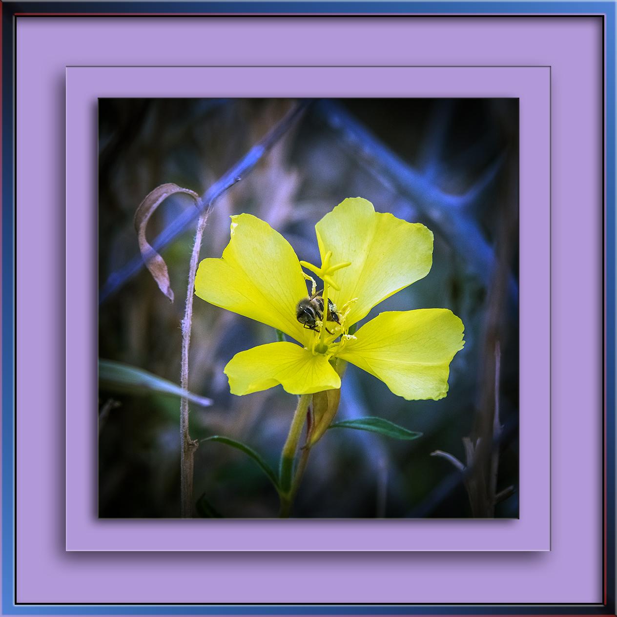 hookers-evening-primrose-0159-3-art-blog