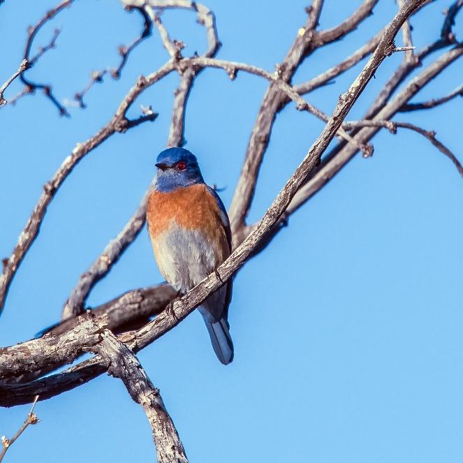 bluebird-0515-blog