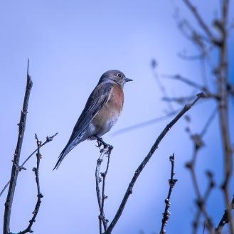 bluebird-0547-blog