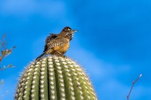 Cactus Wren