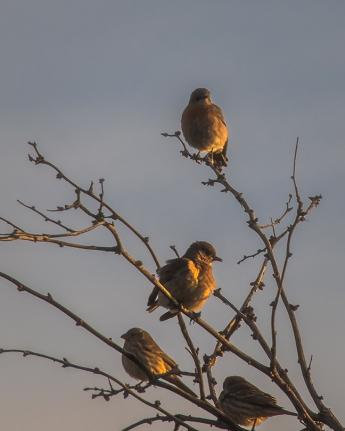 Western Bluebirds