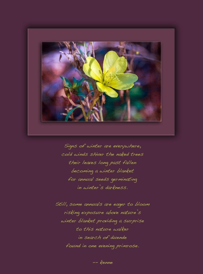 evening-primrose-0540-art-blog-with-poem