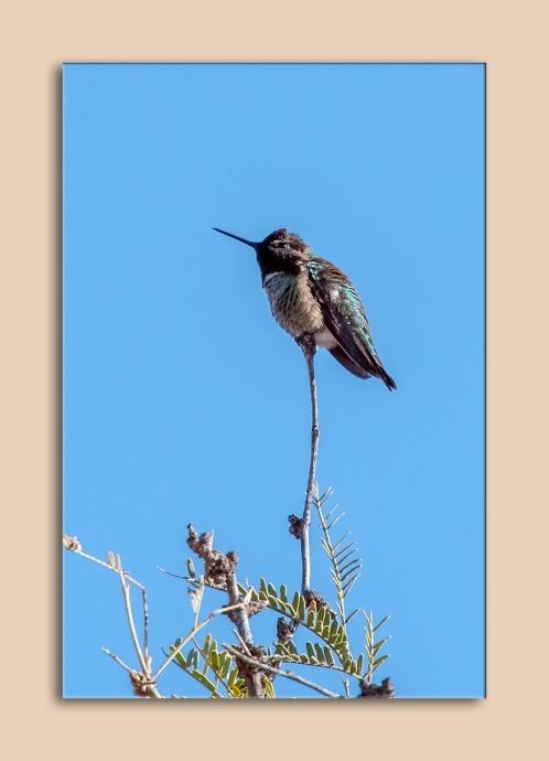 hummingbird-0532-blog-matted