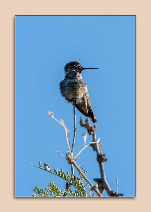 hummingbird-0535-blog-matted