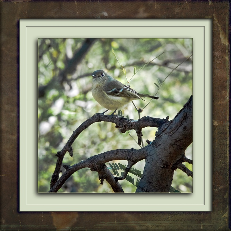 ruby-crowned-kinglet-1429-blog