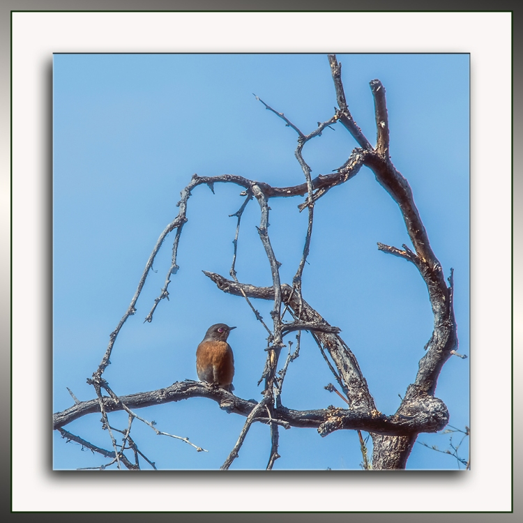 western-bluebird-0399-blog