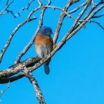 western-bluebird-0516-blog