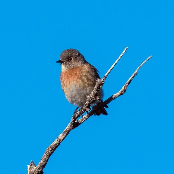 western-bluebird-0518-blog