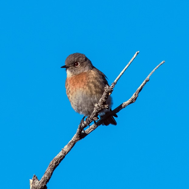 western-bluebird-0518-blog