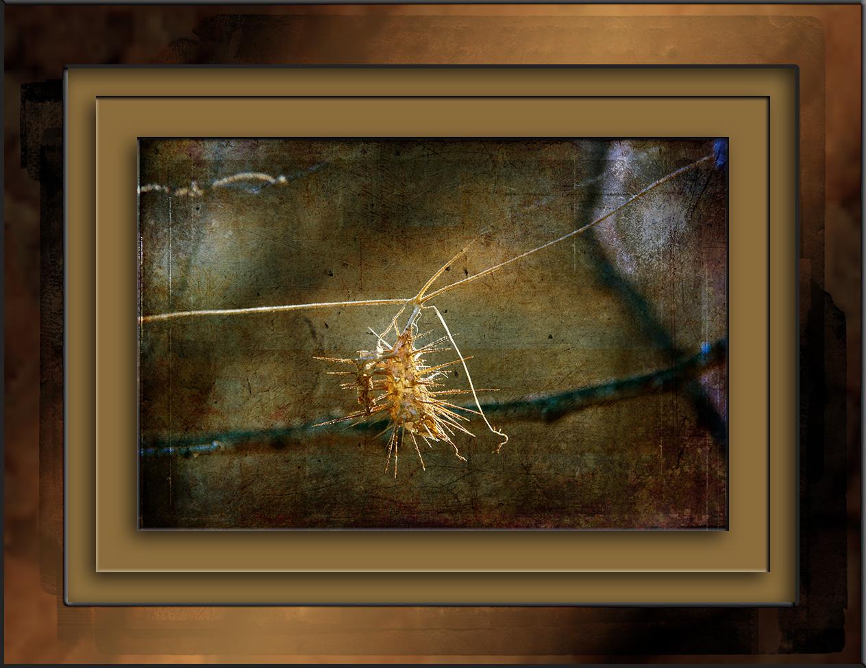 wild-balsam-apple-0538-seed-pod-art-blog