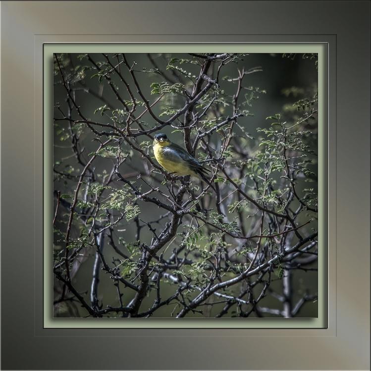 lesser-goldfinch-0676-blog
