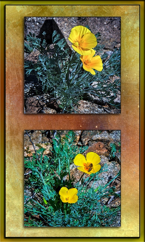 tucson-mt-poppies-blog