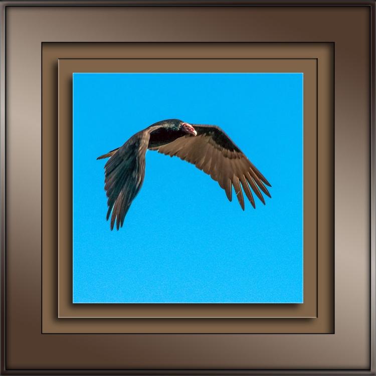 turkey-vulture-blog
