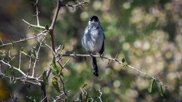 Black-capped Gnatcatcher-1089 blog