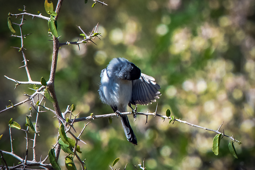 Black-capped Gnatcatcher-1090 blog