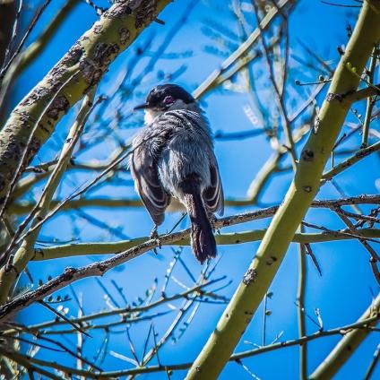 Black -capped Gnatcher -1082 blog
