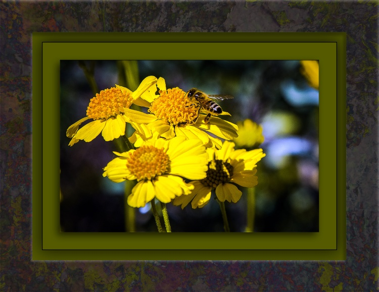 Brittlebush & Honey Bee-1077 blog