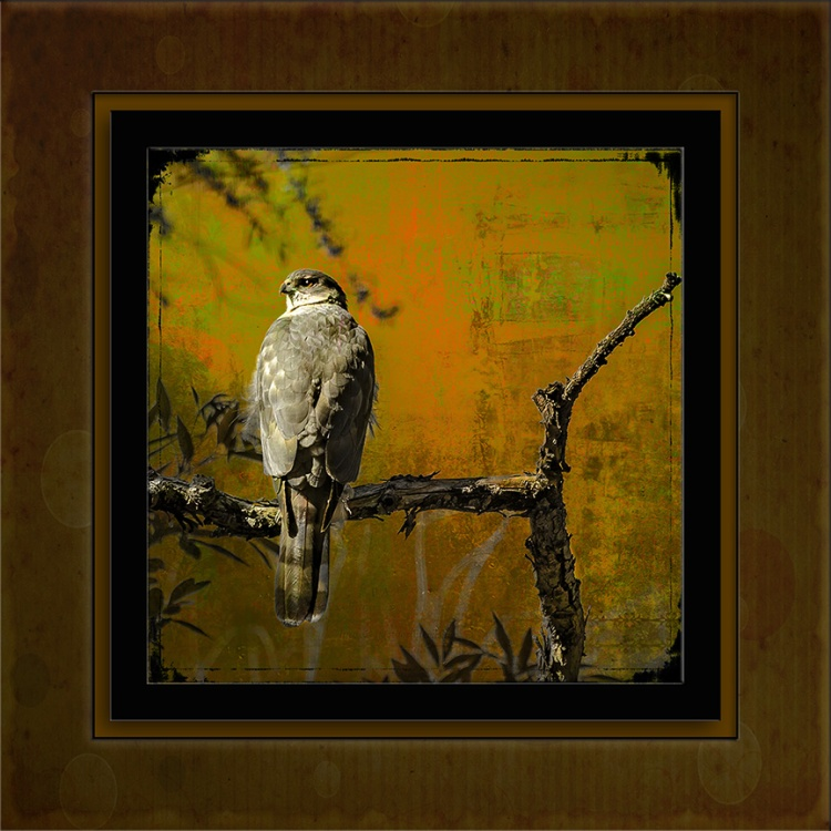 coopers-hawk-art-blog