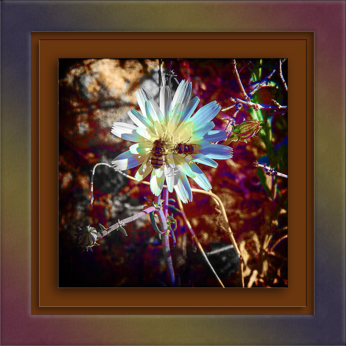 desert-chicory-02-14-14-0054-art-blog
