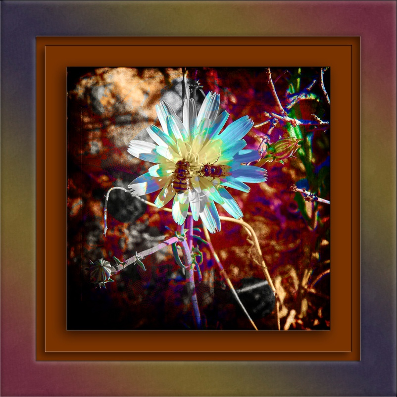 desert-chicory-02-14-14-0054-art-blog