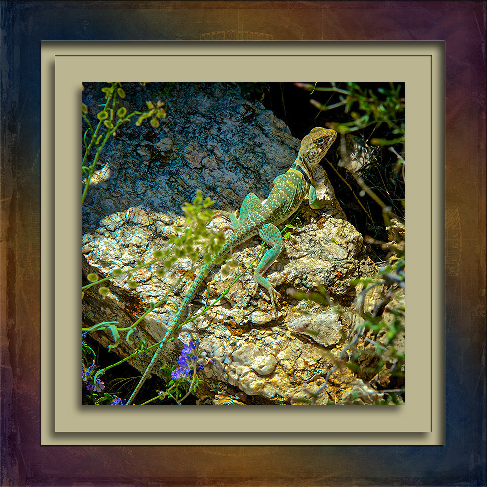 Eastern Collared Lizard-spring-2013-96-blog.jpg